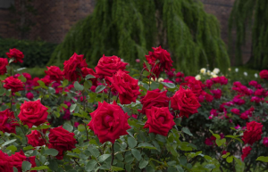 Rose Garden - romantic places in ooty